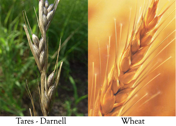 Image Result For Wheat And Weeds
